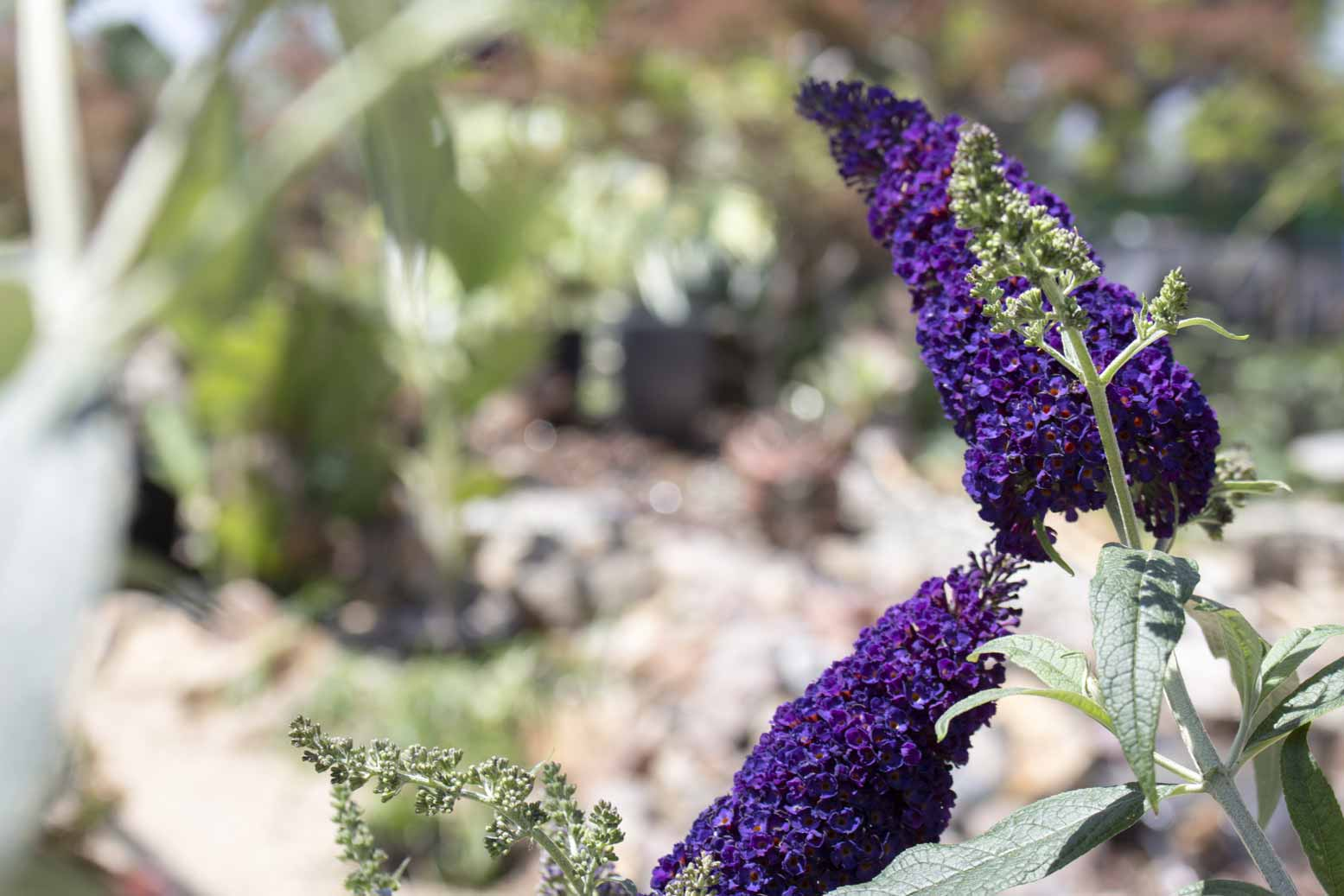 Campos Materials Butterfly bush